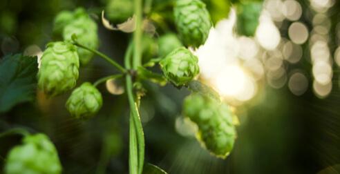 Bitburger Siegelhopfen – die Seele des Bieres